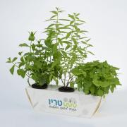 טריו – צמחי תבלין למטבח