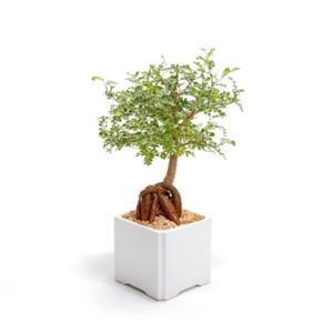 עץ בונסאי בעציץ קרמיקה למיתוג