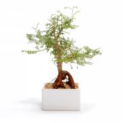 עץ בונסאי בעציץ מלבני