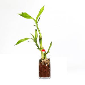 צמח המזל בכלי זכוכית גבוה