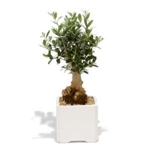 עץ זית ננסי למיתוג